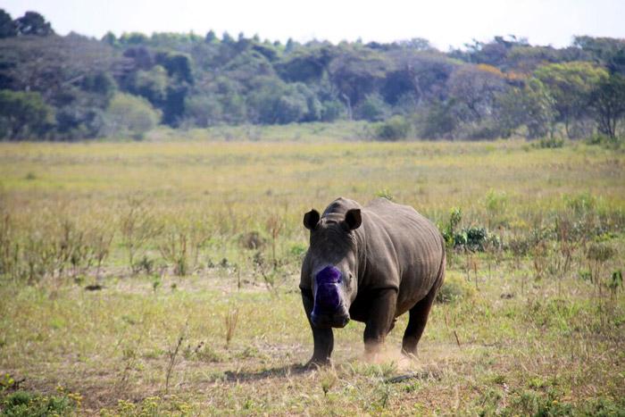rhino-de-horning-kwazulu-natal