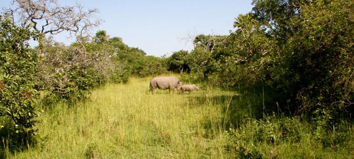 rhino-with-calf
