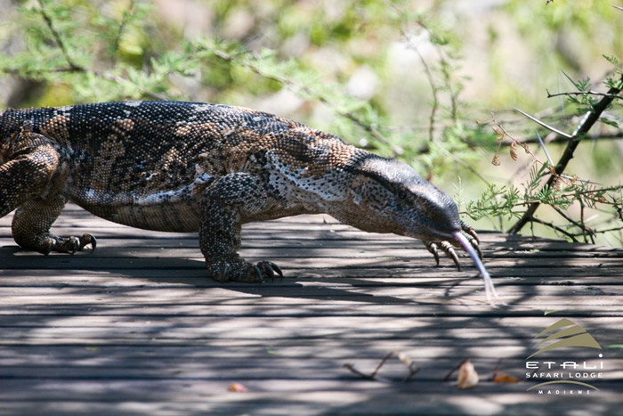 Resident rock monitor lizard catches some rays - Africa ...