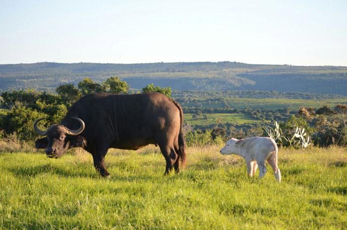 sibuya-game-reserve-white-buffalo-calf