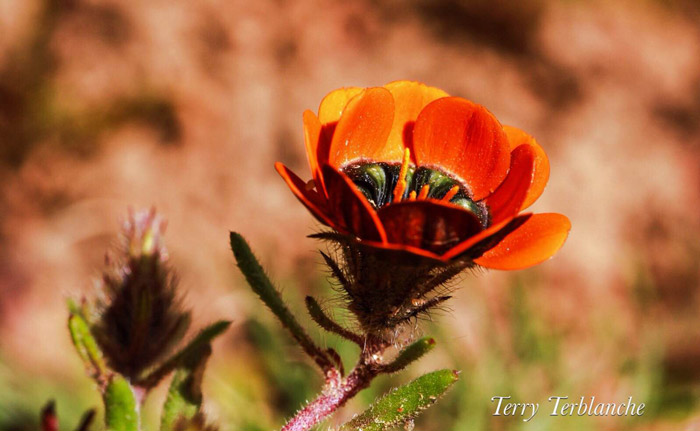 springtime-flowers-in-namaqualand