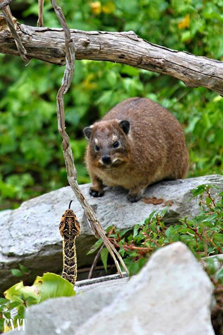 storms-river-mouth-hyrax-puff-adder