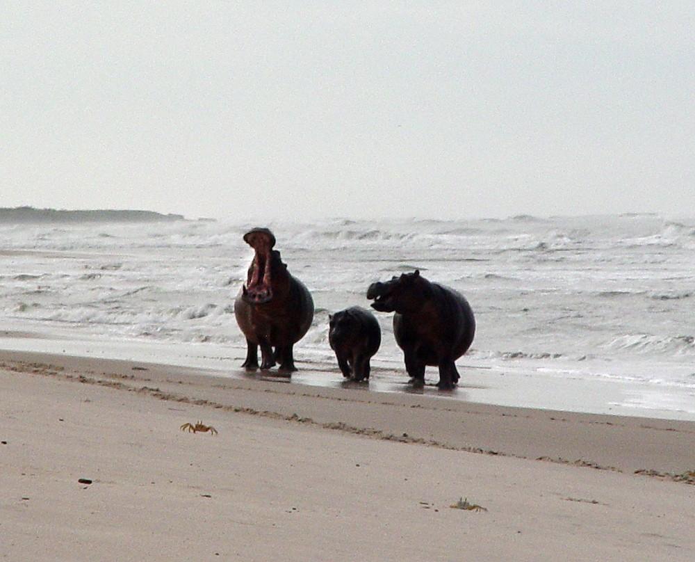 surfing-hippos-martha-robbins