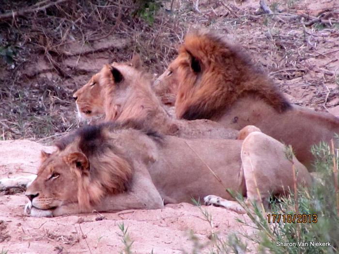three-lions