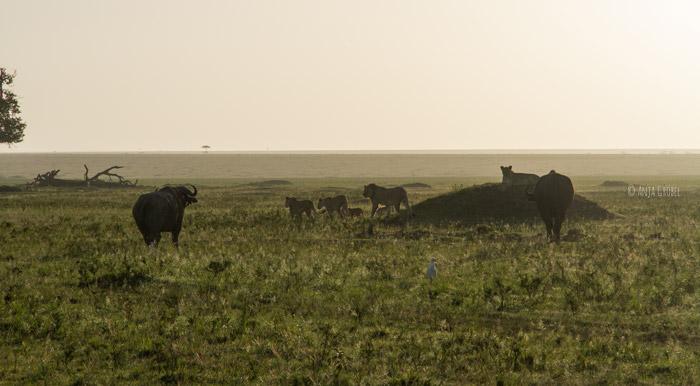 two-buffalos-four-lions