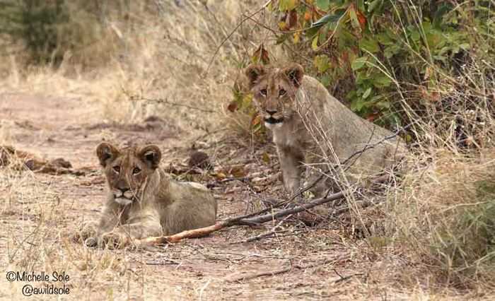 two-lion-cubs