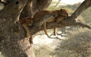 two-lions-laze-in-tree