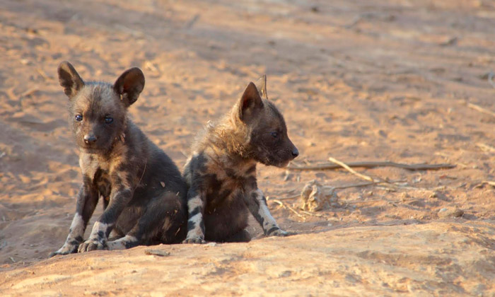 two-wild-dog-pups