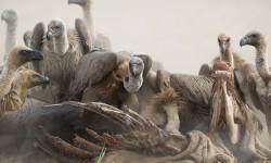 White-backed vultures feeding at carcass © Albert Froneman