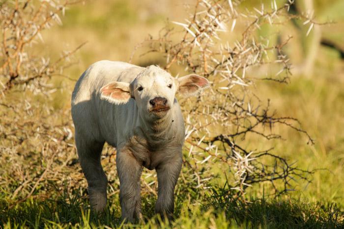 white-buffalo-calf-kenton-on-sea