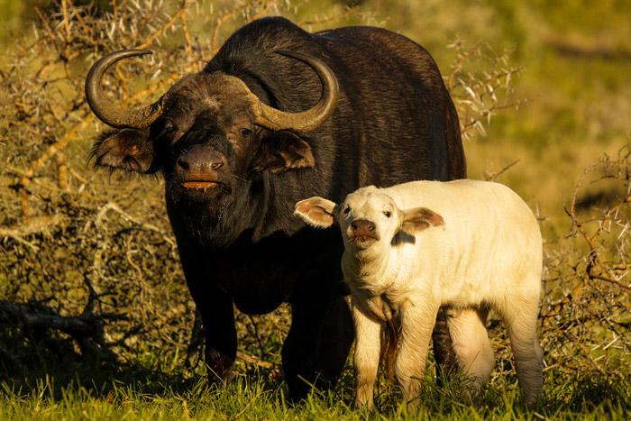 white-buffalo-colour-morphs