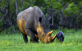 white-rhino-and-calf