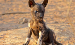 wild-dog-pup