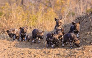 wild-dog-puppies