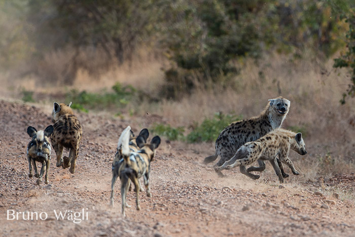 wild-dogs-and-hyenas