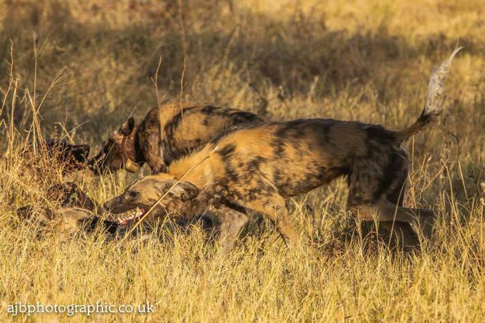wild-dogs-attack
