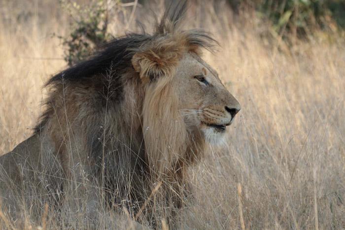 xkoru-lion