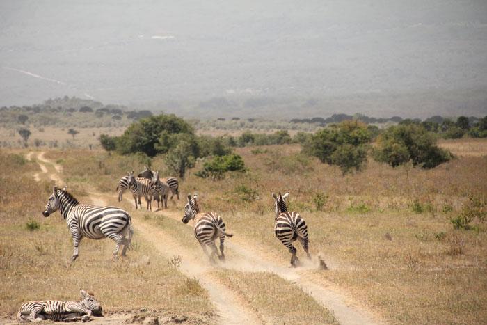 zebras-kenya