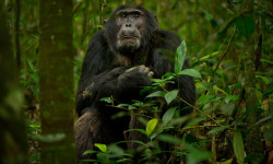 14.-Male-Chimp-(1-of-1)