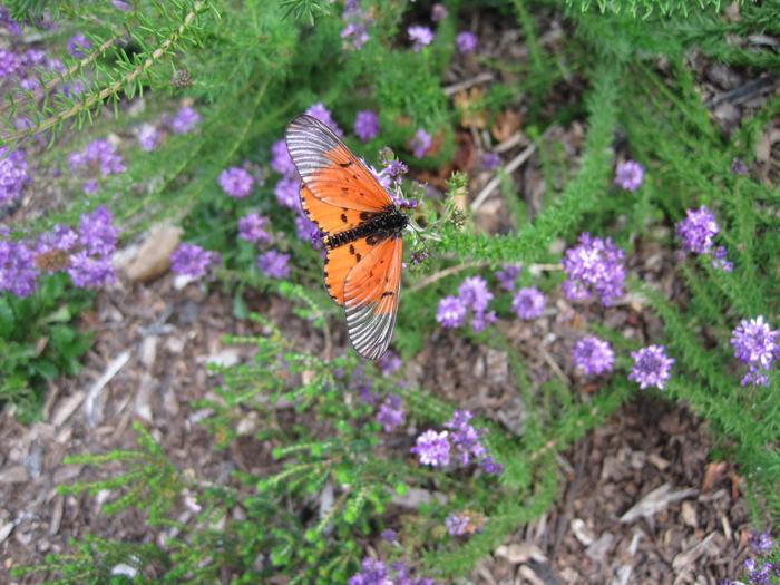 Acraea-butterfly