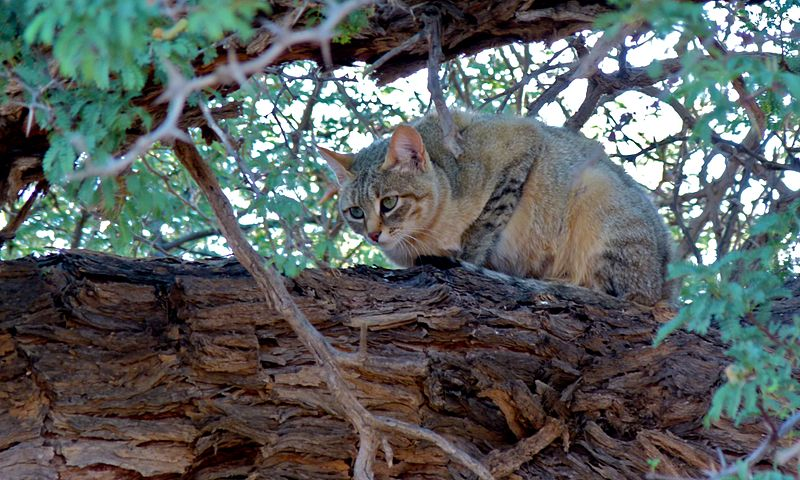 African_Wild_Cat_(Felis_lybica)_(6549450873)