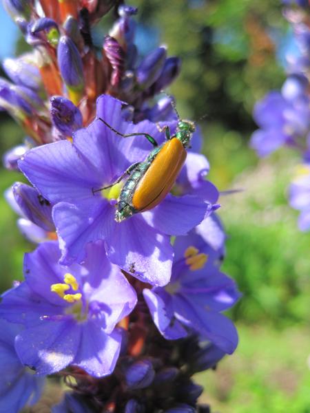 Beetle-on-Aristea-flower