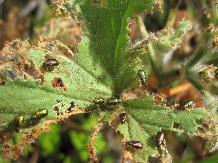 Beetles-on-Pelargonium-leaf