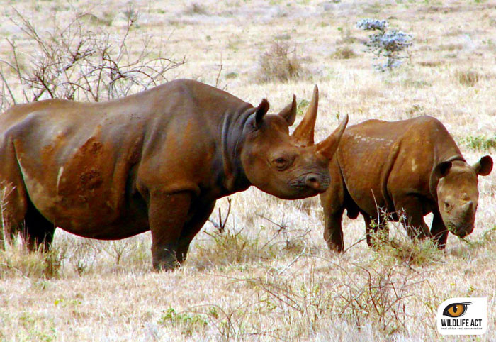 Black-Rhino-and-Calf