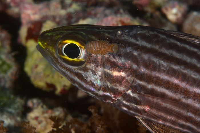 Cardinalfish-with-tongue-biter-cymathoid