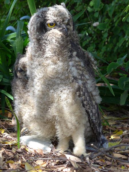 Owlets-kirstenbosch