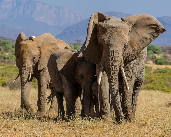 African elephants in Kenya © Patrick Freeman
