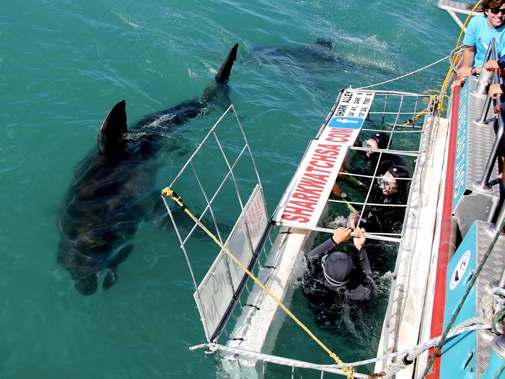 SharkDiving22-marine-dynamics