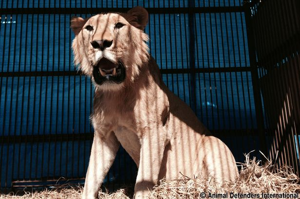 Smith-the-saved-lion-who-faced-death-at-a-circus