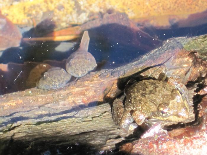 Tadpoles-and-frog-kirstenbosch