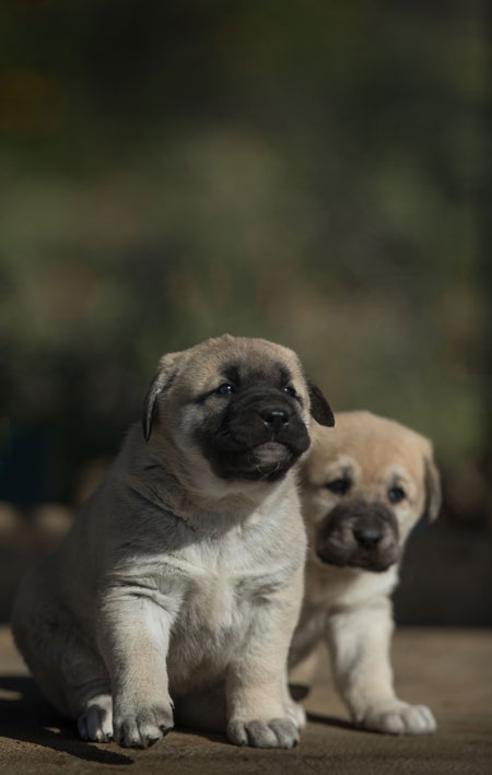 anatolian-dogs-puppies