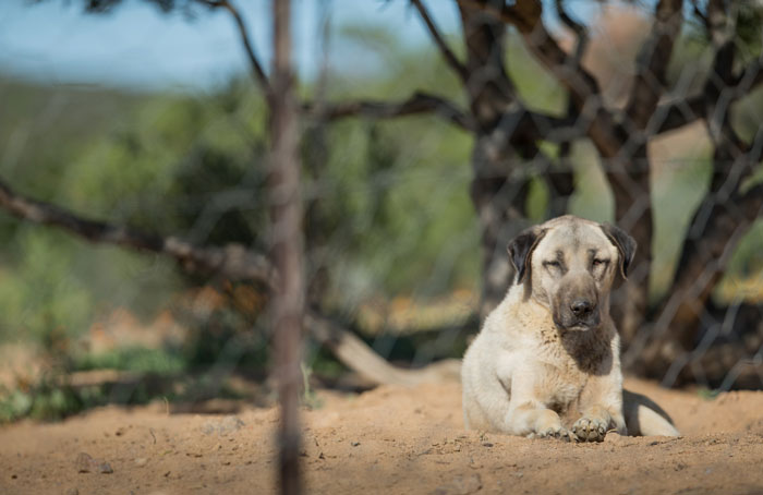 anatolian-shepherd-dogs