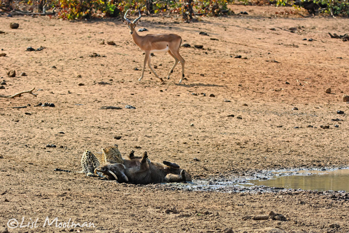 antelope-walks-by-leopard-eating-warthog