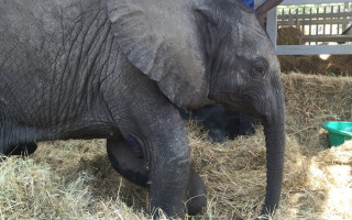 The baby elephant at Wild is Life.
