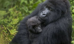 A baby mountain gorilla is held by its mother on Mount Bisoke volcano in Volcanoes National Park, northern Rwanda. ©  Ben Curtis, AP