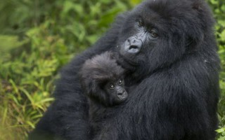 A baby mountain gorilla is held by its mother on Mount Bisoke volcano in Volcanoes National Park, northern Rwanda. ©  Ben Curtis, AP