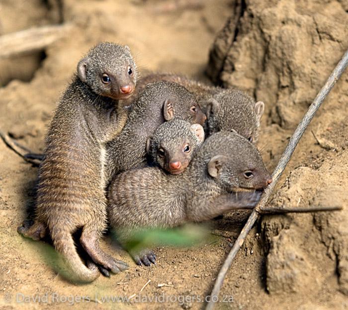banded-mongoose-babies