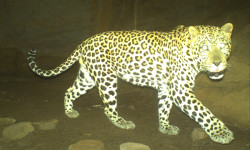 You can clearly see the rosettes on this Cape mountain leopard named Big Boy