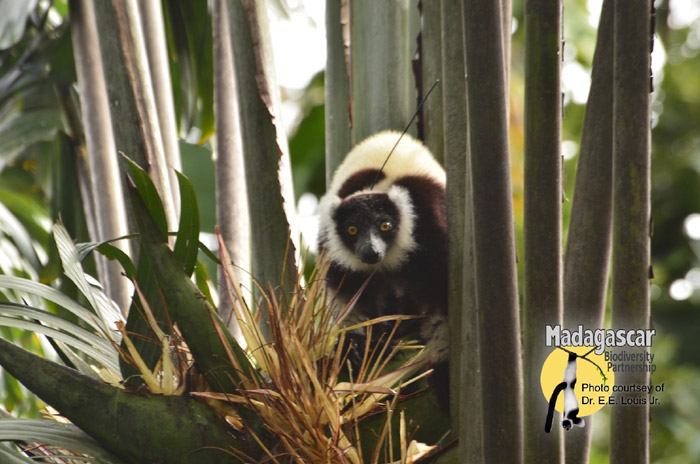 A black-and-white ruffed lemur in Madagascar
