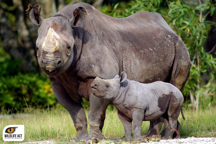 black-rhino-calf
