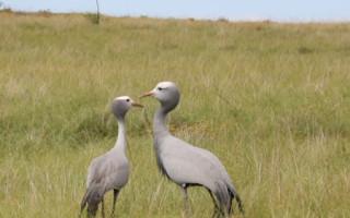 blue-cranes