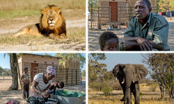 Clockwise from top left, Cecil the lion; William Moalosi, a farmer and former hunting guide in Sankuyo, Botswana; an elephant in Botswana; and Othusitse Ndozi in Sankuyo, a village that used to get a steady income from hunting. Top left © Andy Loveridge/Wildlife Conservation Research Unit, via Associated Press; Other photographs © Joao Silva/The New York Times