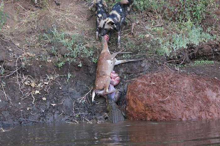 Tide Of War >> Bushbuck tug-of-war in the Lower Zambezi - Africa Geographic