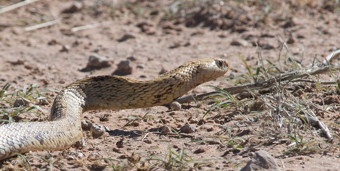 all you need to know about snakes in cape town africa houses for rent large dogs dog houses for large dogs lowes