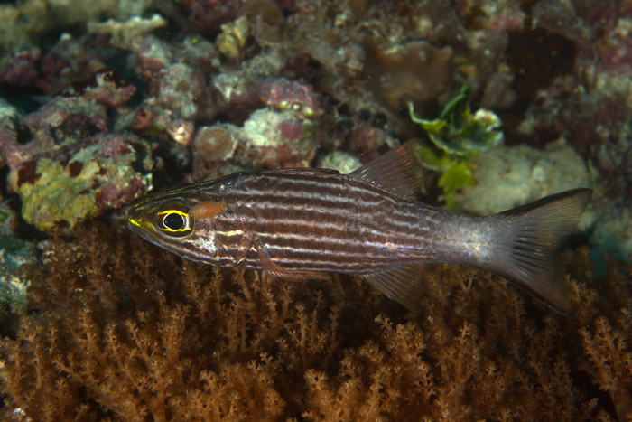 cardinalfish-with-tongue-biter-cymathoid-zanzibar