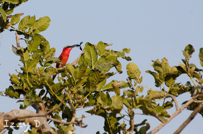 carmine-bee-eater-south-luangwa